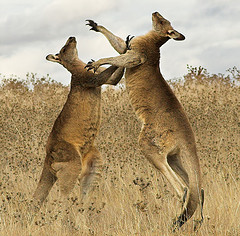 Roos are jumping for joy