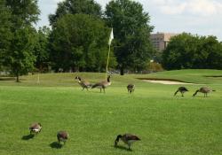 goose golf